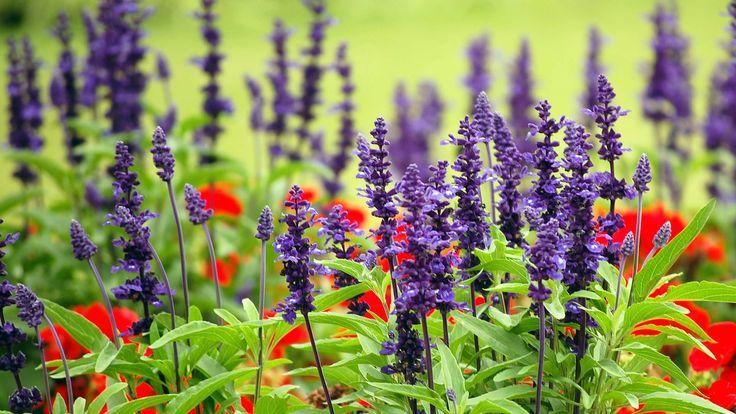 Скачать обои лаванда, Королевский ботанический сад, Сидней, луг, Австралия, цветы, раздел природа в разрешении 1920x1080