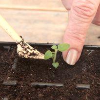КАРТОФЕЛЬ: СОБИРАЕМ СВОИ СЕМЕНА И САЖАЕМ! Potatoes - propagating by seeds