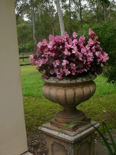 Begonia House Foyer : Best begonia semperflorens images on pinterest
