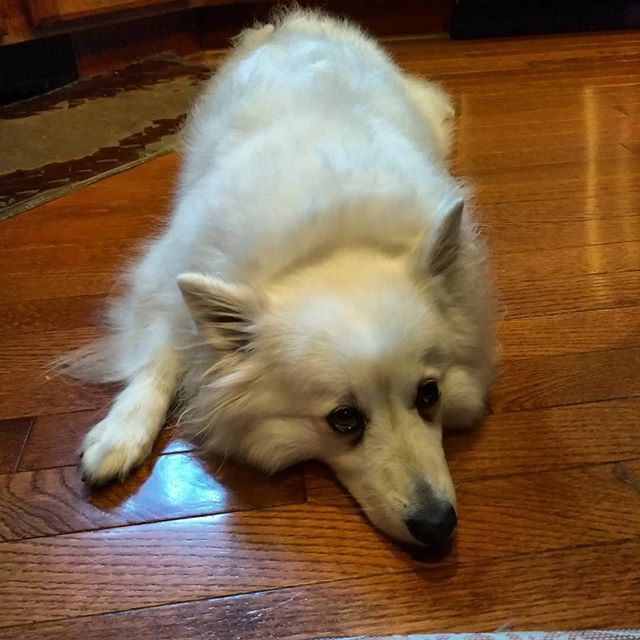 Pin On American Eskimo Milky Sparky