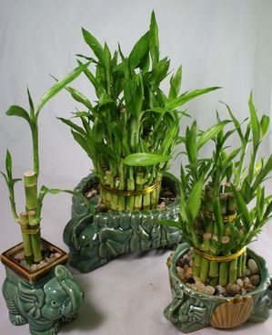 """bamboo plants, a plant """"I"""" can even grow"""