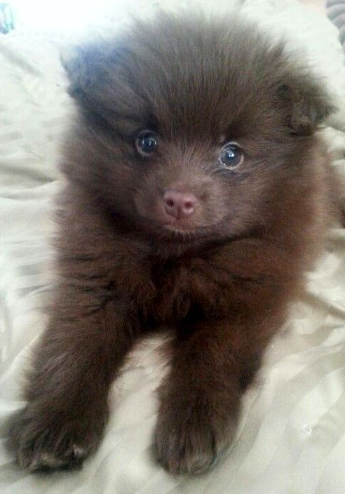 Chocolate Pomeranian...8 weeks old Pinned by pinner