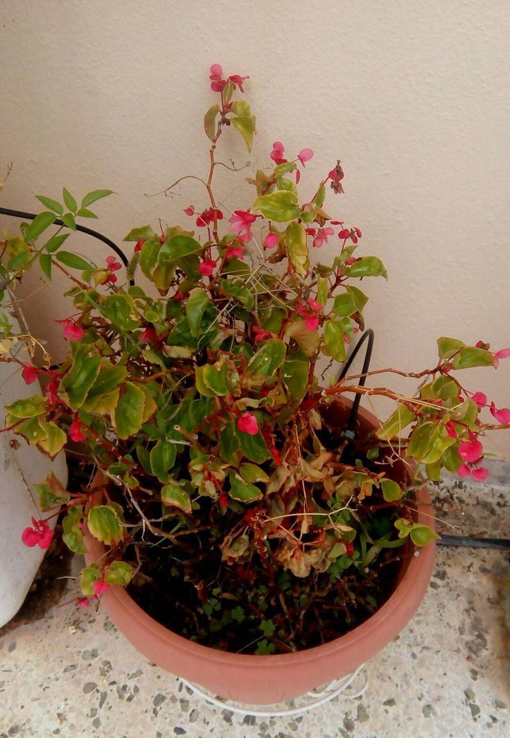 Επιστημονική ονομασία:Begonia  Κατάταξη:Γένος  Υψηλότερη κατηγορία ταξινόμησης:Βεγονίδες