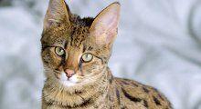 2. De savannah.jpg    Ook de Savannah is een kruising en kan zo loyaal als een hond zijn voor het baasje. Hoe diep je in de buidel moet tasten? €40.000 he is.  https://www.msn.com/nl-nl/lifestyle/stijl/de-20-duurste-katten-ter-wereld/ss-BBmm5pQ
