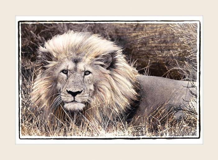 African Wildlife - Regal Gaze - Marlene Neumann Fine Art Photography  www.marleneneumann.com  neumann@worldonline.co.za