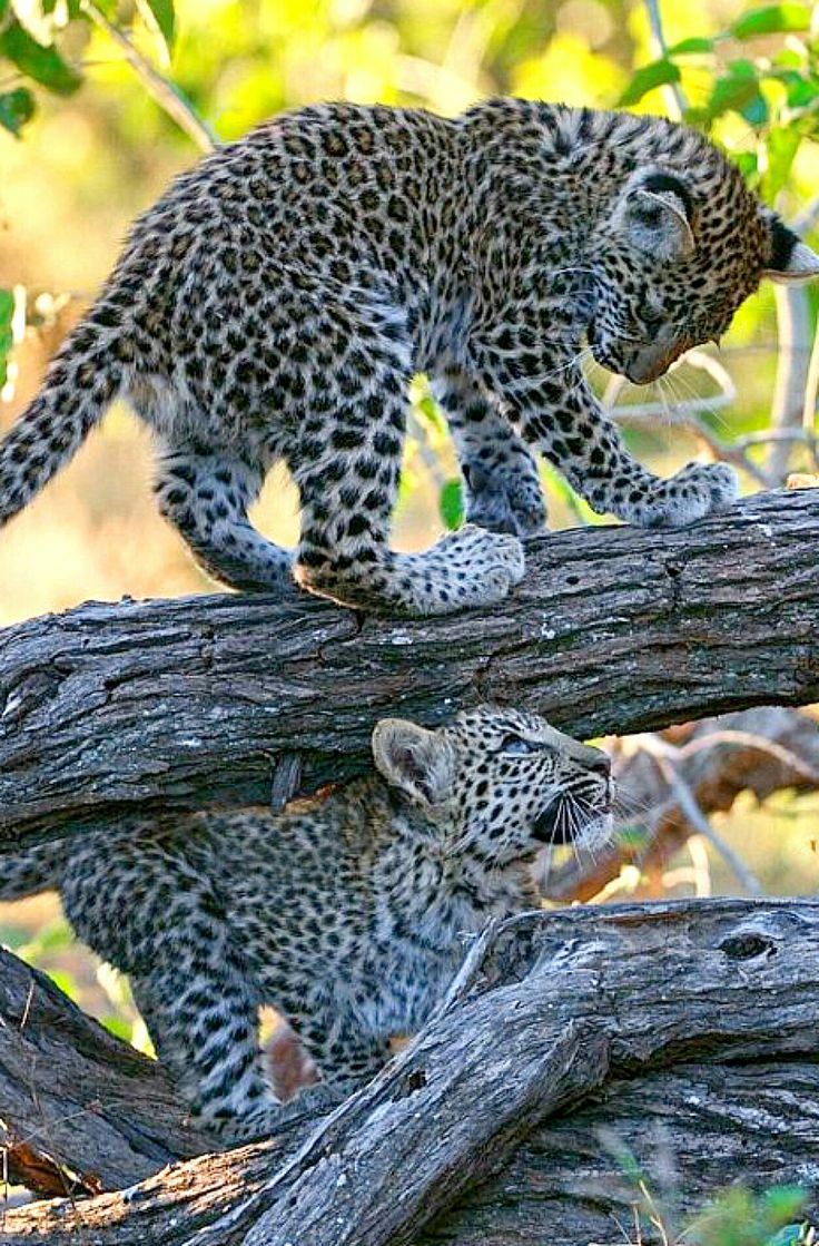 Beautiful leopard cubs