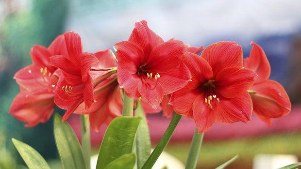 Bramboříky, difenbachie, dračince, filodendrony. Taky je máte rádi? Avšak pozor, běžně pěstované pokojové rostliny jsou vlastně jedovaté.