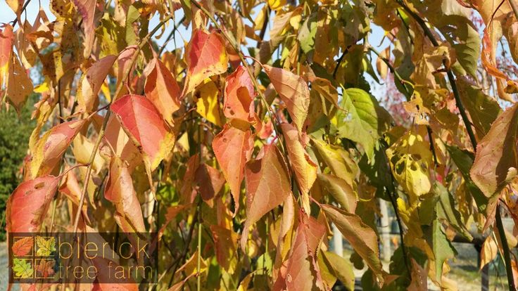 Prunus 'Snofozam' or 'Snow Showers' or 'Falling Snow' – Purchase Bare Rooted Trees Online