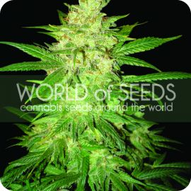 Sweet coffee ryder - strain - World of Seeds | Cannapedia