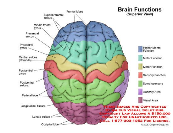 15 best brain anatomy images on pinterest brain anatomy the functional areas of the brain google search ccuart Images