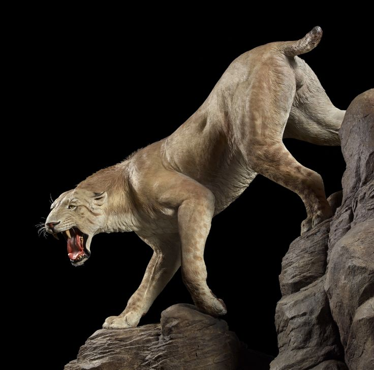 Ice Age Animals | life-size model of a saber-toothed cat and other Ice Age animals are ...