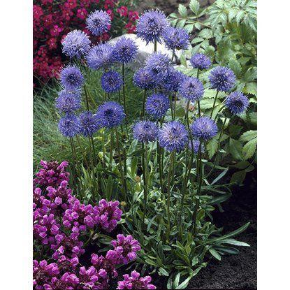 Pavinec vytrvalý modrý průměr květináče cca 9 cm
