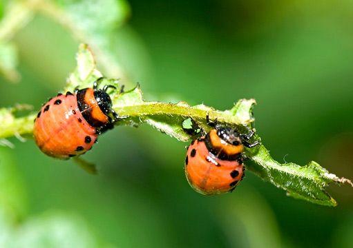 Proti škůdcům lze bojovat i bez chemie