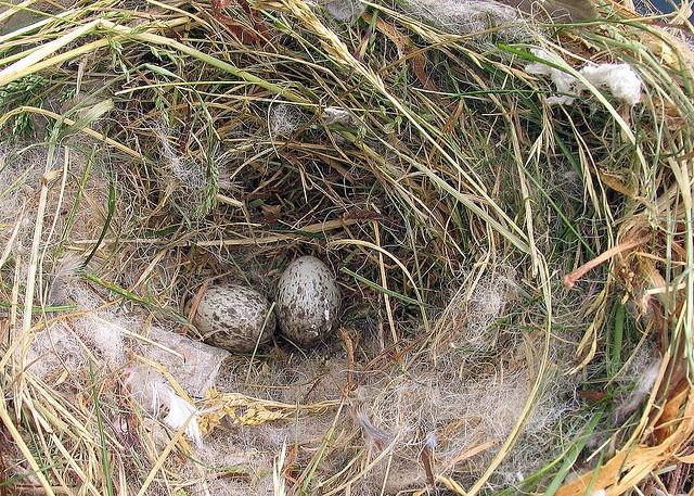 House Sparrow's  Nest by njchow82, via Flickr
