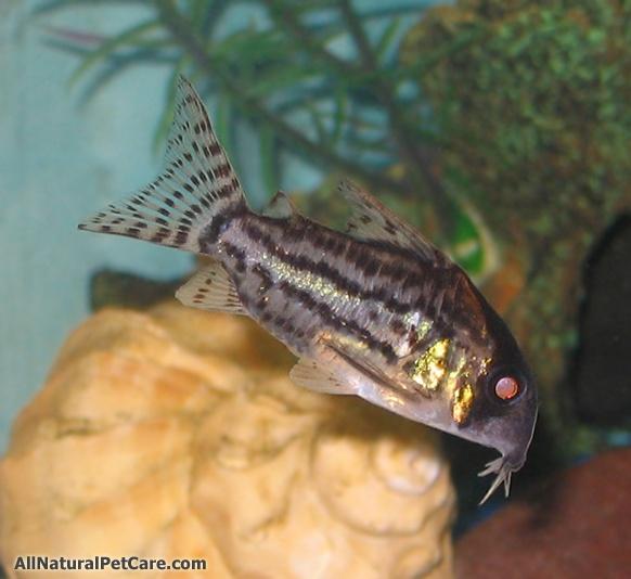 193 best images about aquarium fish shrimp snails on for Pretty freshwater fish