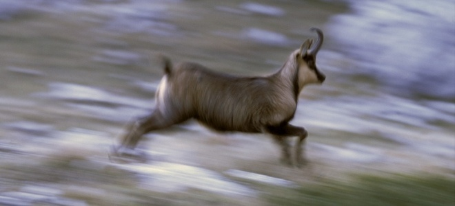 Apennine chamois in Majella National Park   http://www.panparks.org/visit/our-parks/majella-national-park