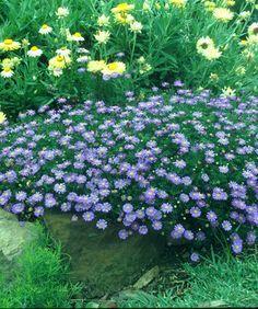 Brachyscome multifida. Low care Australian native daisy like ground cover plant.