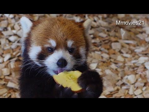 This Red Panda's Heroic Attempts To Eat Apple Slices Will Inspire You