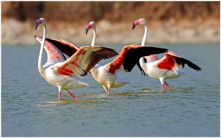 Flamingo Birds HD Wallpaper | flamingo bird hd wallpaper