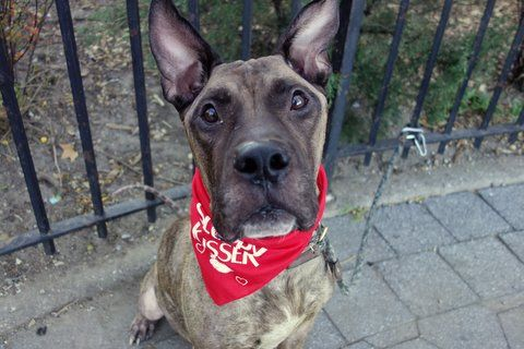 BRUNO - A1096341 - - Manhattan  Please Share:TO BE DESTROYED 11/18/16 **ON PUBLIC LIST** A volunteer writes: I lost my heart yesterday. Oh wait, there it is, Bruno has it! This gorgeous fellow with the strong (Great Dane ancestry?) but soft face is a love. Quiet in his kennel, ready to step out as soon as I leash him, going potty was his priority, and then we're off to the park. I stopped to talk to a staffer for a moment and Bruno waited patiently by my side, and eve