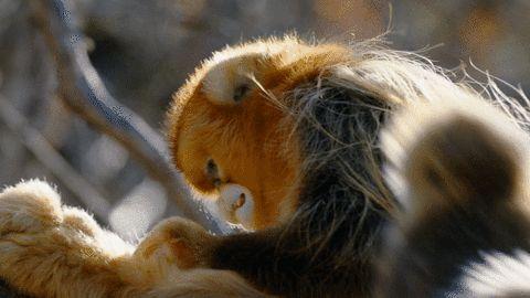 Birthday Monkey Pics Funny Gif #2331 - Funny Monkey Gifs| Funny Gifs| Monkey Gifs