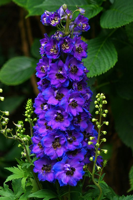 Delphinium  - Definitely want  to add these to our outdoor landscape.  Will add a great pop of color!