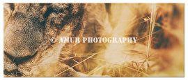 Close up slapende leeuw op canvas. Fotografie: Werner Maritz / Amur Photography