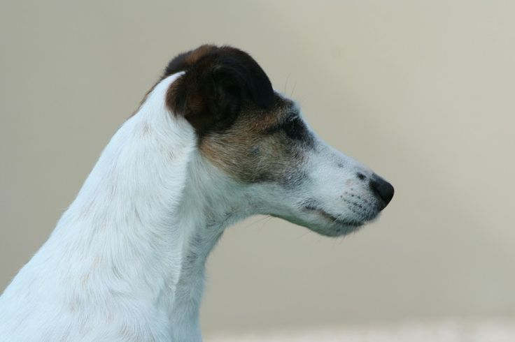 82 best foxterrier images on Pinterest | Smooth fox terriers, Dogs ...