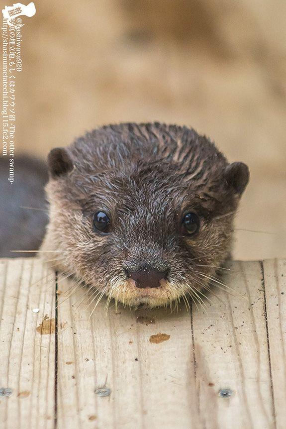 Yes, little otter, that wooden platform makes a good chin rest - December 26, 2014