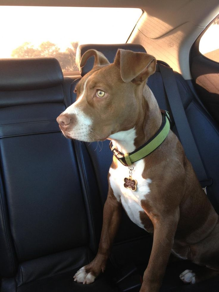 Red heeler lab pitbull mix