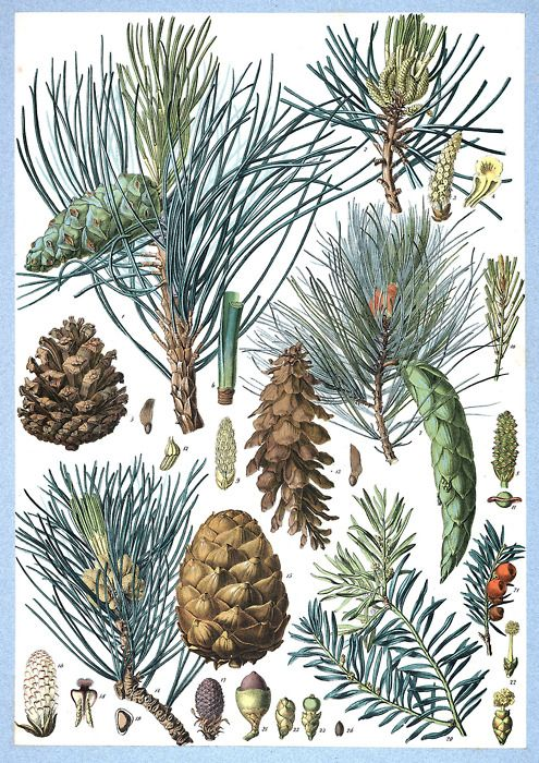 Pinus nigra, Pinus strobus, Pinus cembra (Swiss pine), Taxus baccata (European Yew)  From Flore forestière illustrée du centre de l'Europe (Illustrated forest flora of central Europe), by C. de Kirwan, Paris, 1872.  (Source: archive.org)