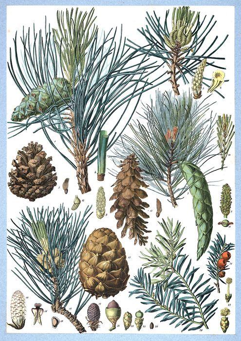 Pinus nigra, Pinus strobus, Pinus cembra (Swiss pine), Taxus baccata (European Yew) From Flore forestière illustrée du centre de l'Europe (Illustrated forest flora of central Europe), by C. de Kirwan, Paris, 1872. (Source: archive.org)