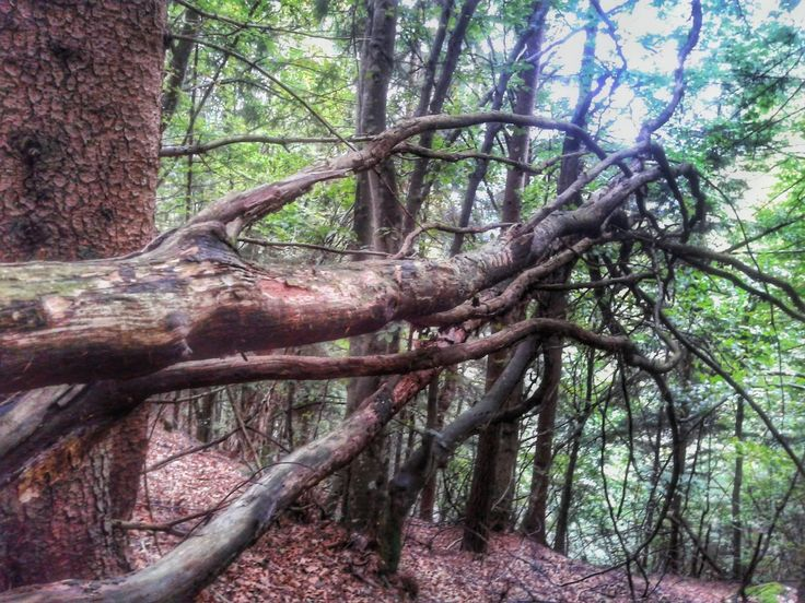 tree, tree trunk, branch, forest, growth, nature, tranquility, woodland, wood - material, day, no people, outdoors, tranquil scene, root, beauty in nature, moss, low angle view, bark, non-urban scene, bare tree