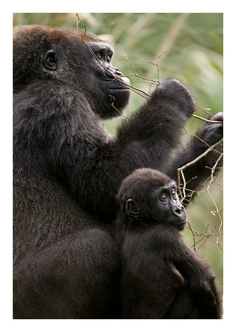 I want to hike into the mountains to see the gorillas in the wild...