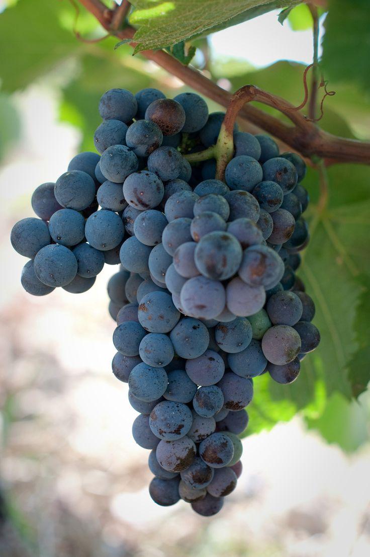La qualité du raisin est au rendez-vous !