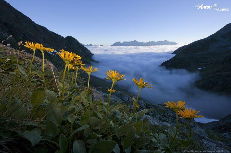 Wunderbare Arlberger Bergwelt! Blühende Arnika über dem Wolkenmeer