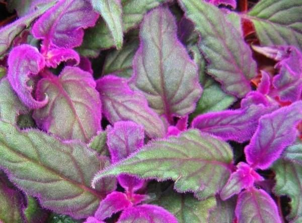 Starter Plant Of Gynura Aurantiaca Purple Velvet Plant. This Trailing  Perennial Has Velvety Leaves With Violet Purple Hairs Is Often Times U.