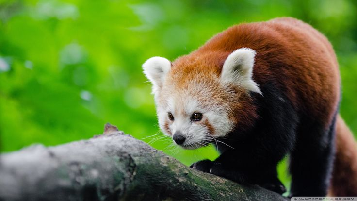 Red Panda Full HD Wallpapers  Amazing Wallpaperz