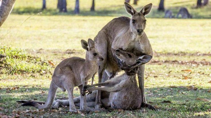 Foto aus Australien: Trauer um sterbendes Känguru? http://www.travelbook.de/welt/taiwan-dieser-schuh-soll-eine-kirche-sein-fuer-frauen-735475.html