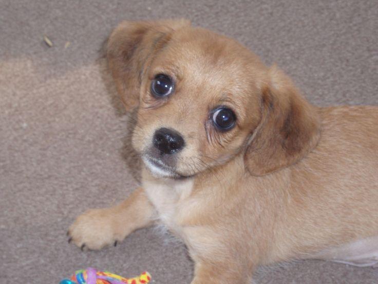 Poogle <b>Beagle</b> <b>Poodle</b> <b>Mix</b>