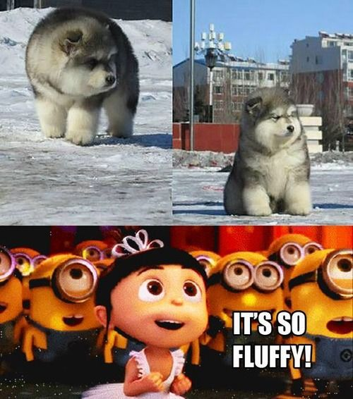 Oh, indeed he is!!  i am guessing part chow chow, part husky?  SO adorably fluffy!!!!!!!