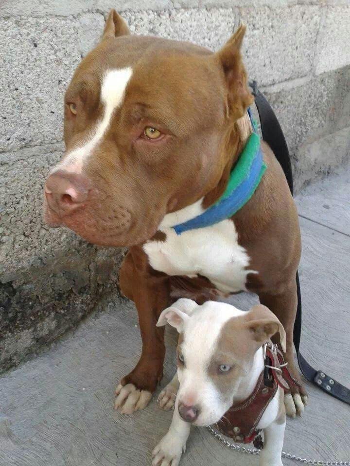 Look at that #Pitbull #pup!