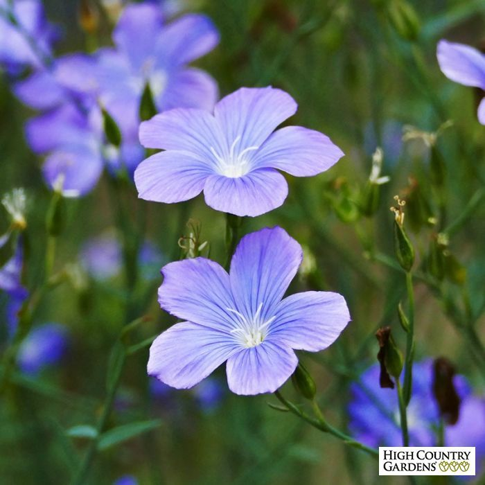 Spanish Blue Flax Linum High Country Gardens Plants Flower Garden Plans
