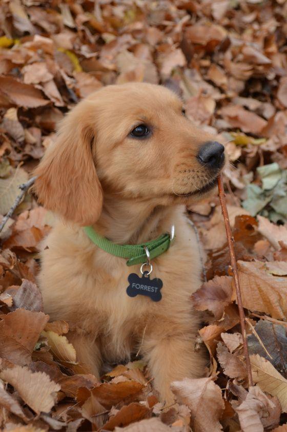 Best 25+ Golden retriever names ideas on Pinterest | Cute ...