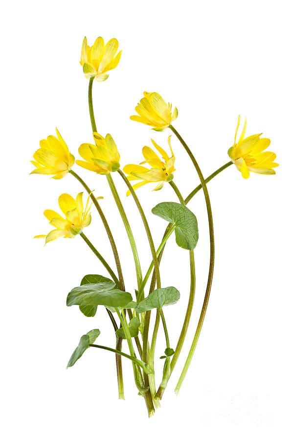 Yellow Spring Wild Flowers Marsh Marigolds Photograph by Elena Elisseeva