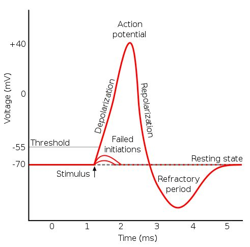 Action potential - Refractory period (physiology) - Wikipedia, the free encyclopedia