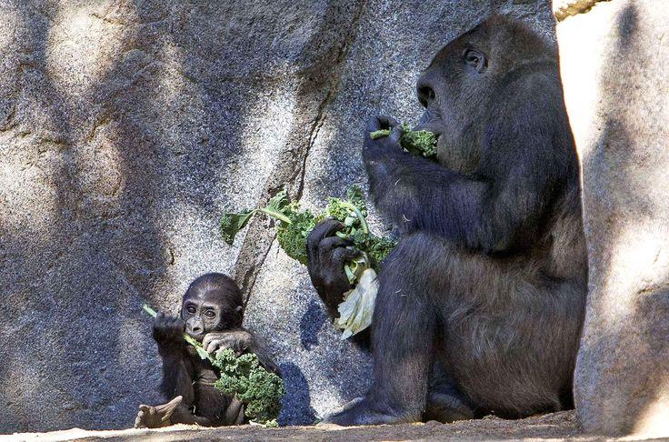 Joanne, un gorille de 5 mois, mange avec sa maman au zoo de San Diego.
