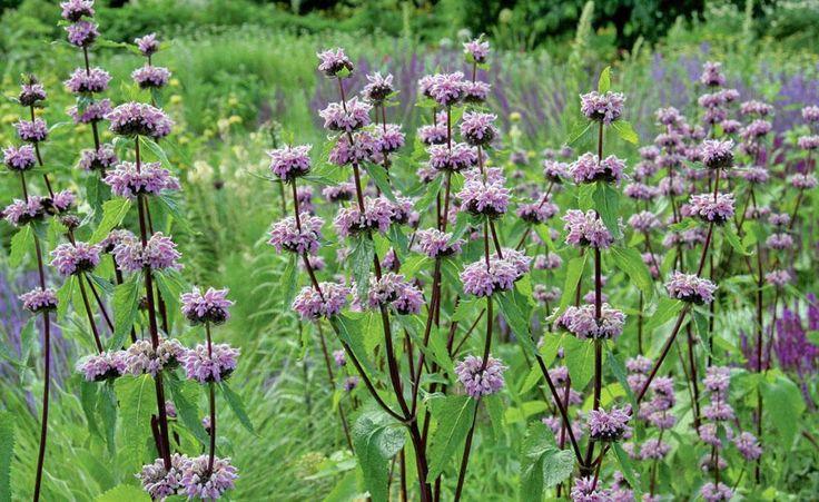 langlebige stauden f r sonnige standorte garten plants. Black Bedroom Furniture Sets. Home Design Ideas