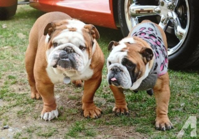 Akc English Bulldog Puppies English Bulldogs For Sale In Michigan