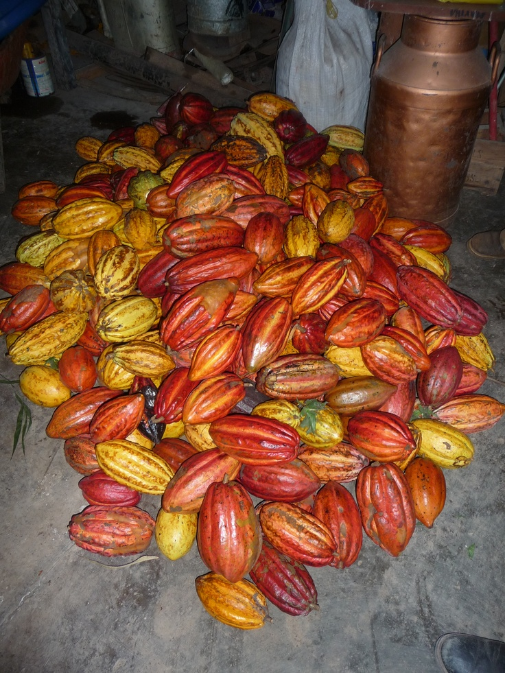 Amazing colored cacao pods...